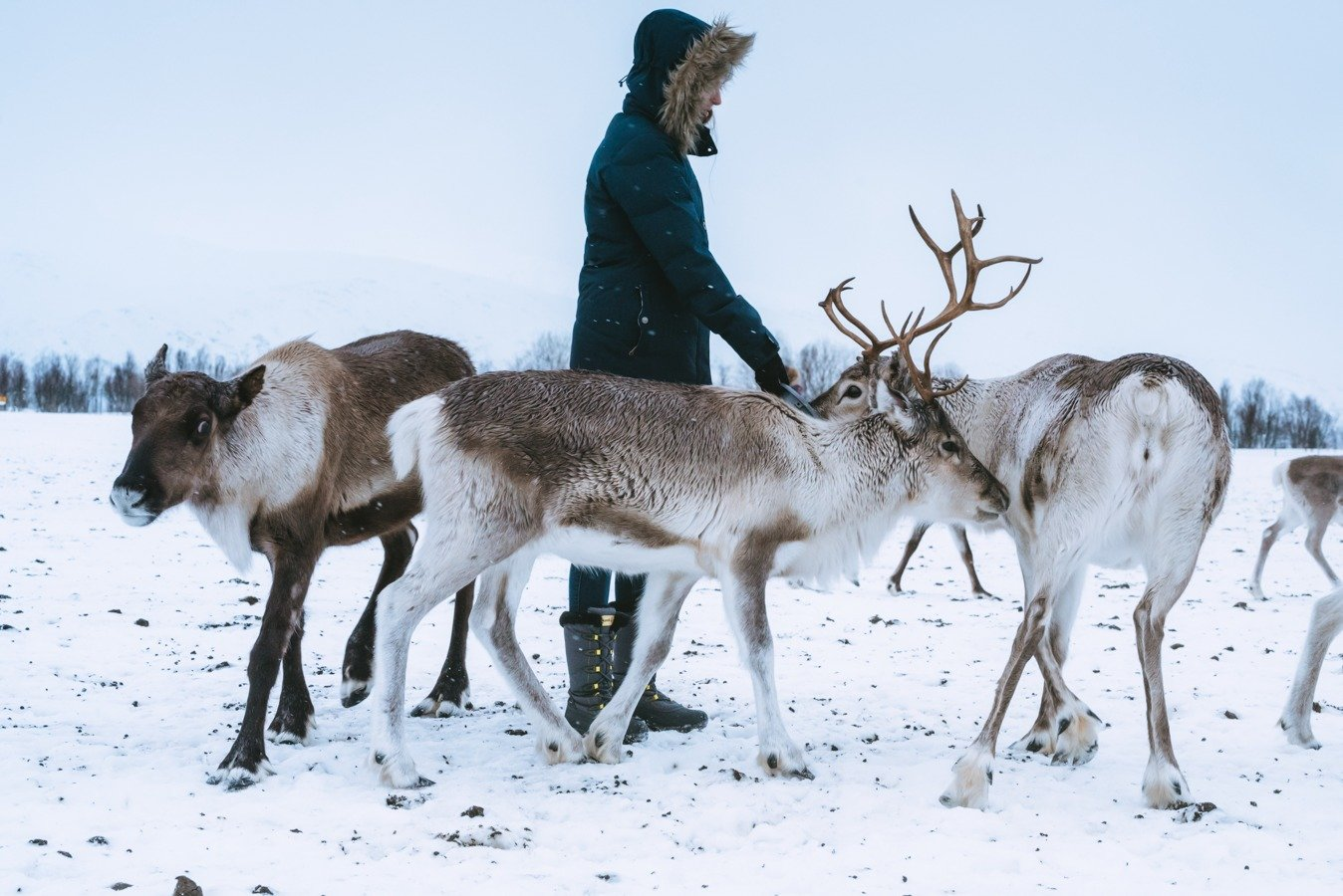 Feeding the reindeer at the Sami experience