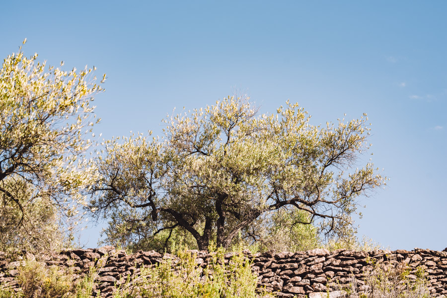 Olive trees on an olive farm in Spain